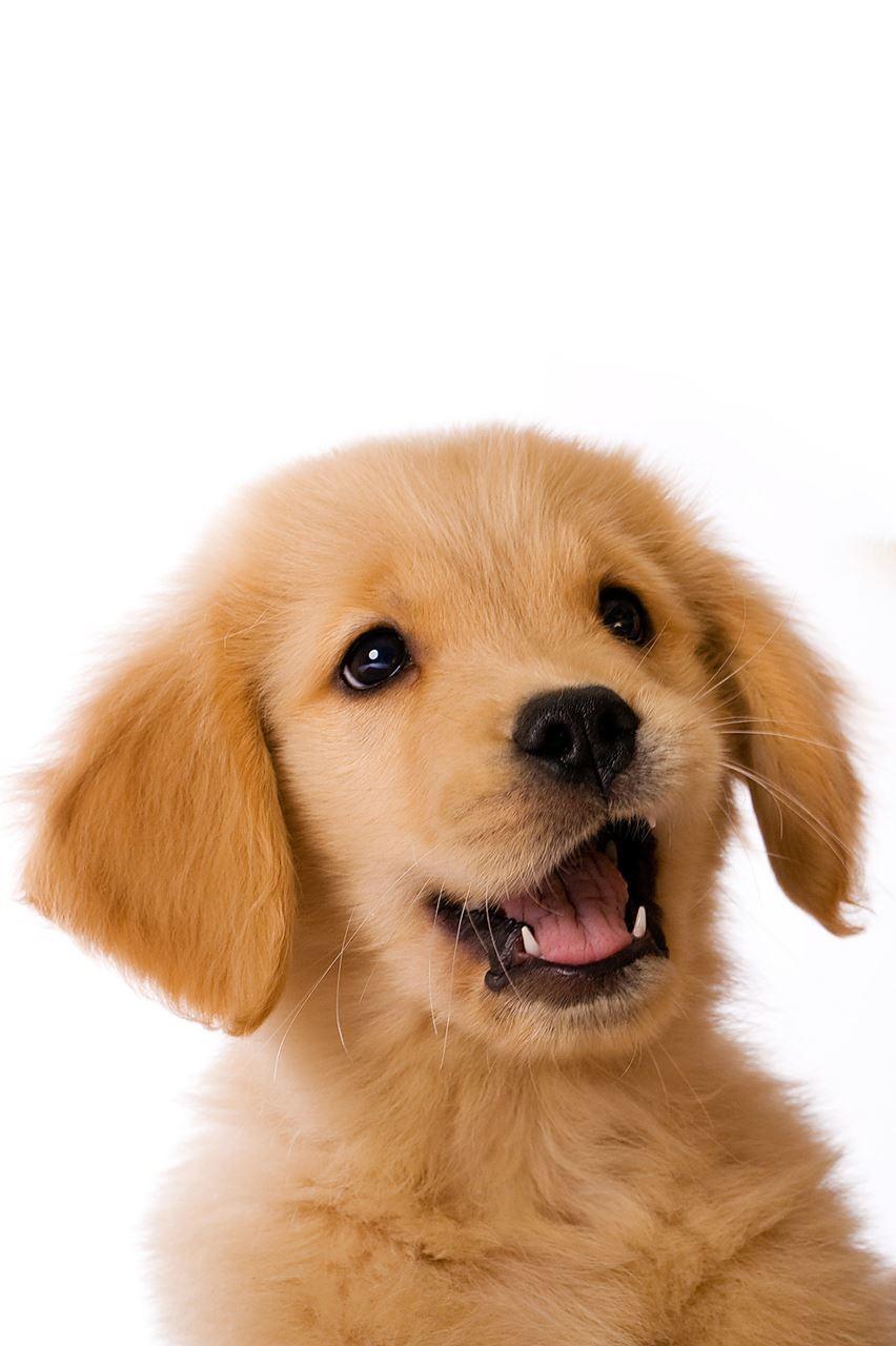 Golden Retriever Dog Art Sarah Hiers Design Golden Retriever Art Print Fun Golden Retriever Poster Cool Golden Retriever Art Print